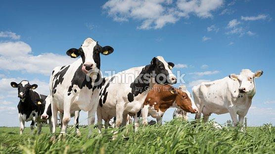オランダのアメルス フォールトに近い青空の下緑の草で覆われた草原で黒と白の牛 : ストックフォト