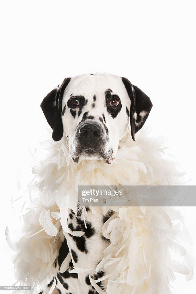 Black and white Dalmatian wearing white feather boa in studio : Stock Photo