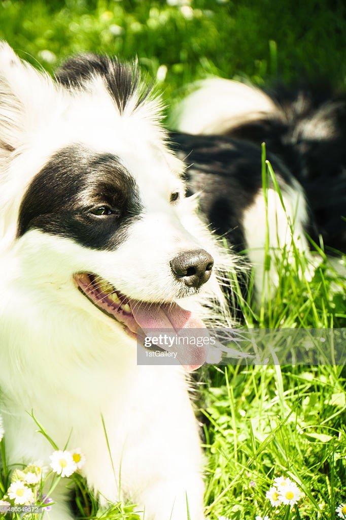Perro blanco y negro : Foto de stock