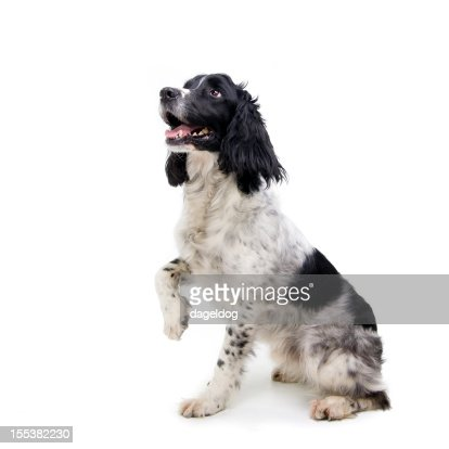 Black and white dog sitting with one paw raised