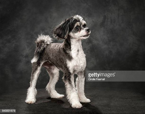 Black and white dog standing on grey background