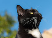 Black and white domestic cat looking to the sky