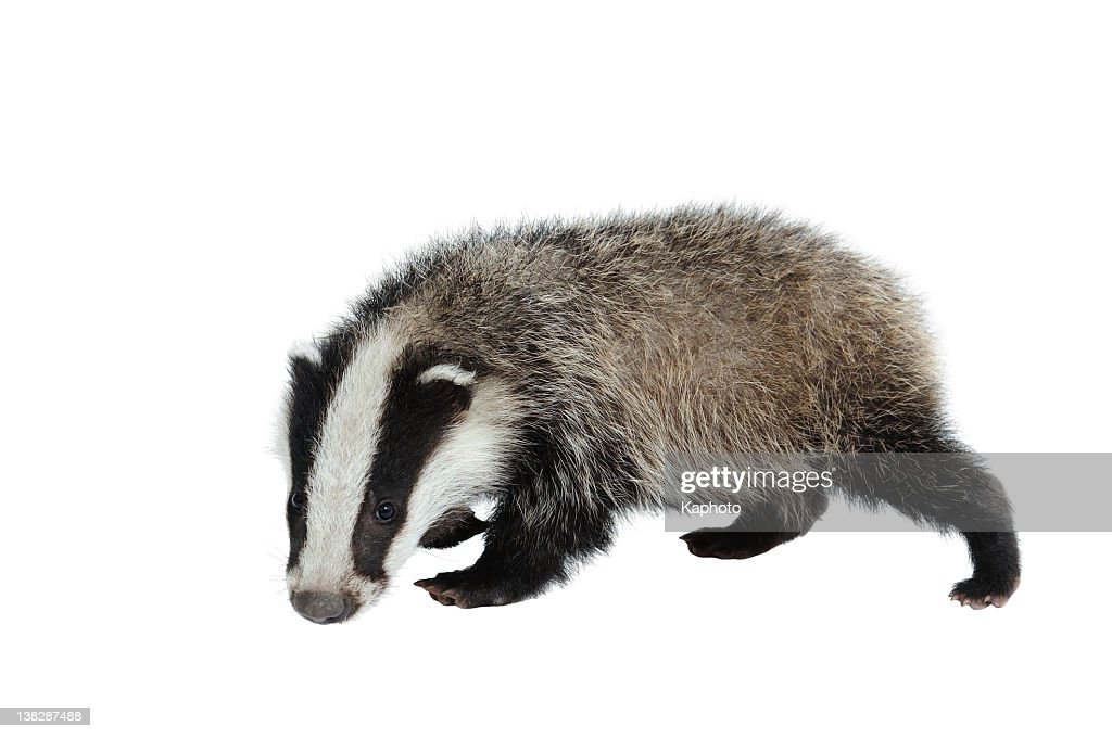 a black and white eurasian badger looking at camera on white
