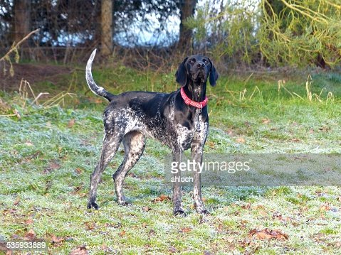 Black and white german shorthaired pointer Dog : Stock Photo