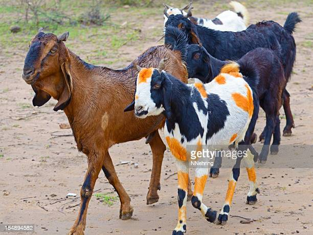 Black and White Goat with Painted Orange Spots