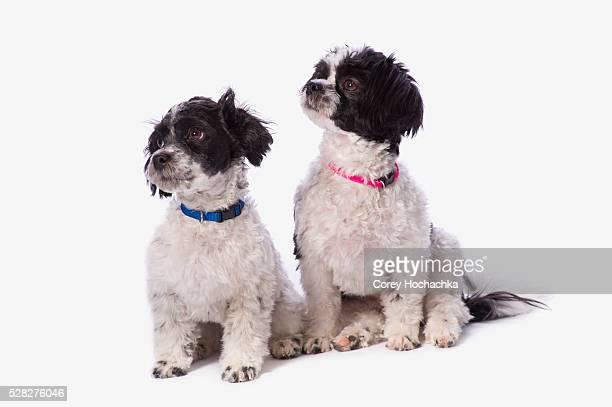 Black And White Havanese Puppies; St. Albert Alberta Canada