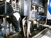 black and white holstein cow waits for other cow milked by milking robot on dutch farm in holland