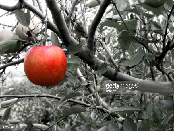 Black and white image of a tree with one red apple