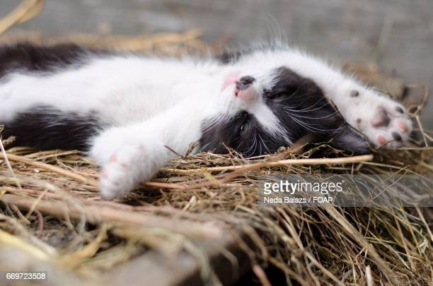 Black and white kitten resting on her back