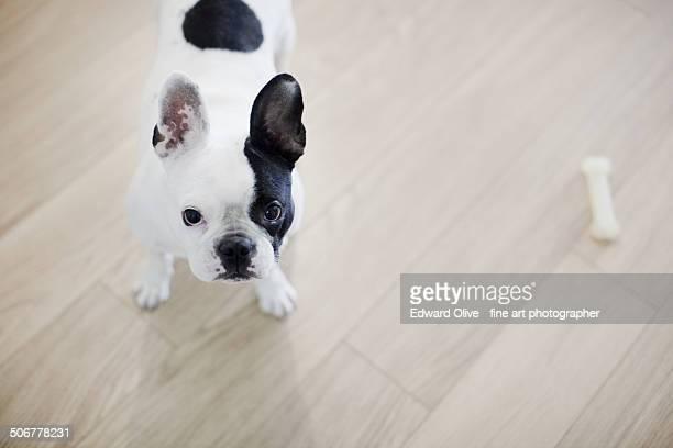 Black and white mini French bulldog and bone