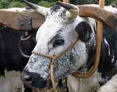 Closeup of black and white ox harnessed to a 19th c. wooden yoke