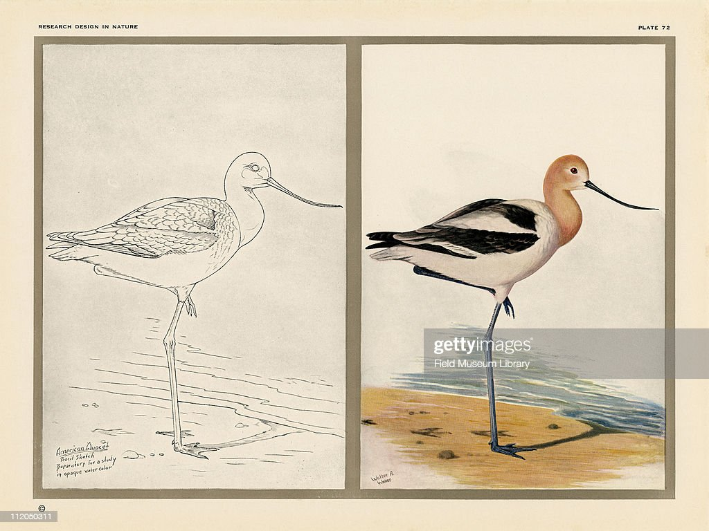 American Avocet Pictures Getty Images