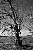 Black and White Photo of a Leafless Dead Tree at the Bolsa Chica Ecological Reserve in Huntington Beach, CA.