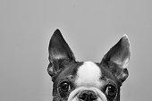 A Boston Terrier peeking over