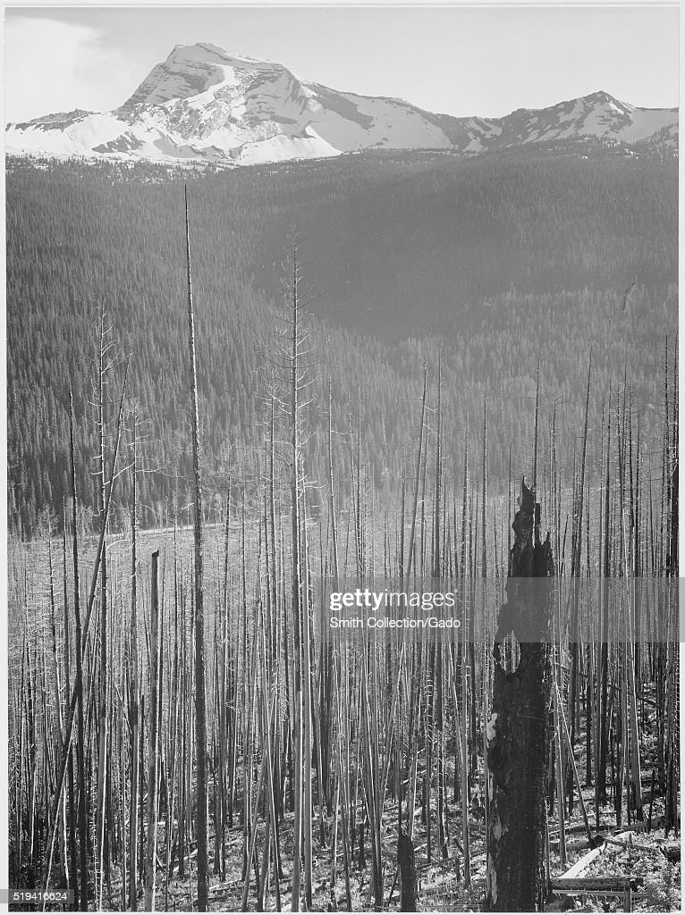 A black and white photograph of snow covered mountains taken from the site of a forest fire in Glacier National Park the foreground consists of the...