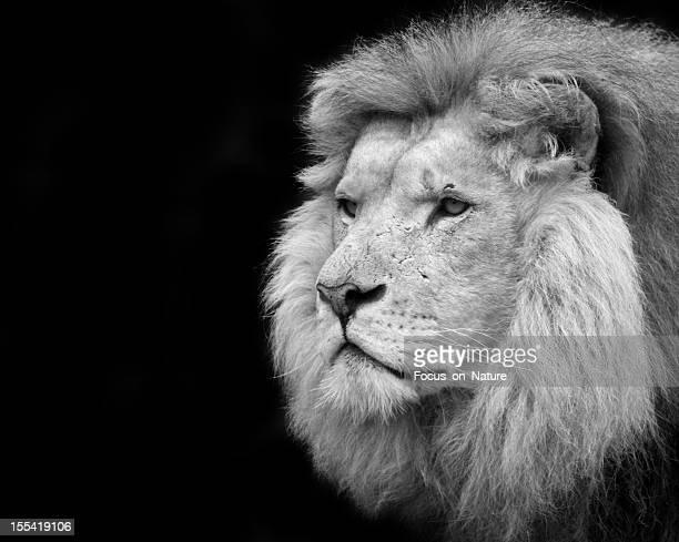 Schwarz und Weiß Porträt eines Löwen