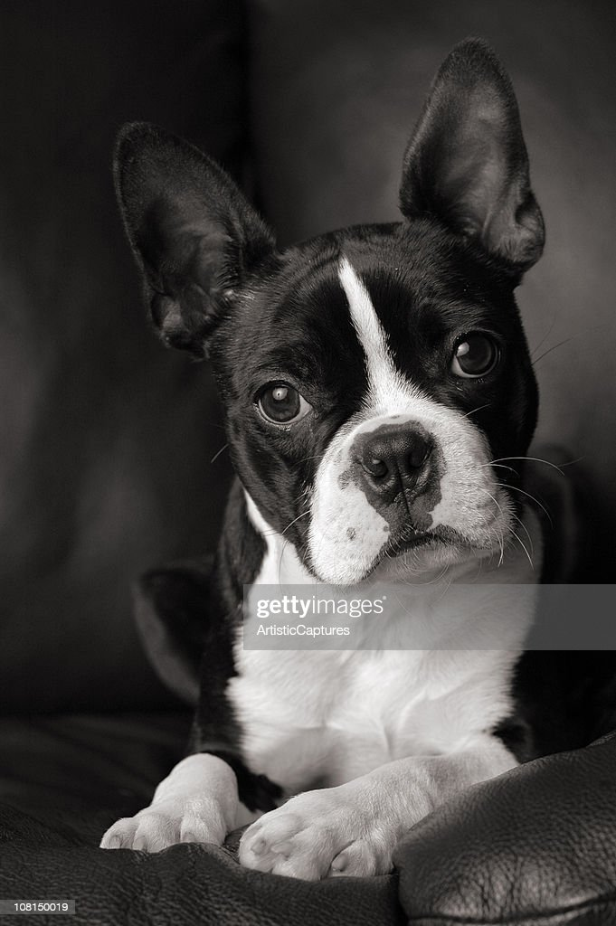 Black and White of Curious Boston Terrier Dog Cocking Head : Stock Photo