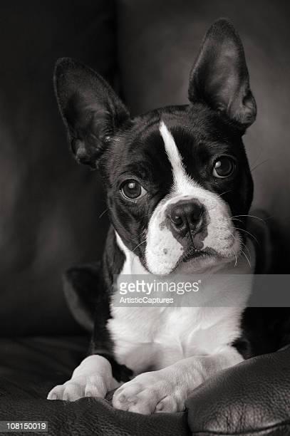 Noir et blanc Portrait de Boston Terrier chien Cocking Head