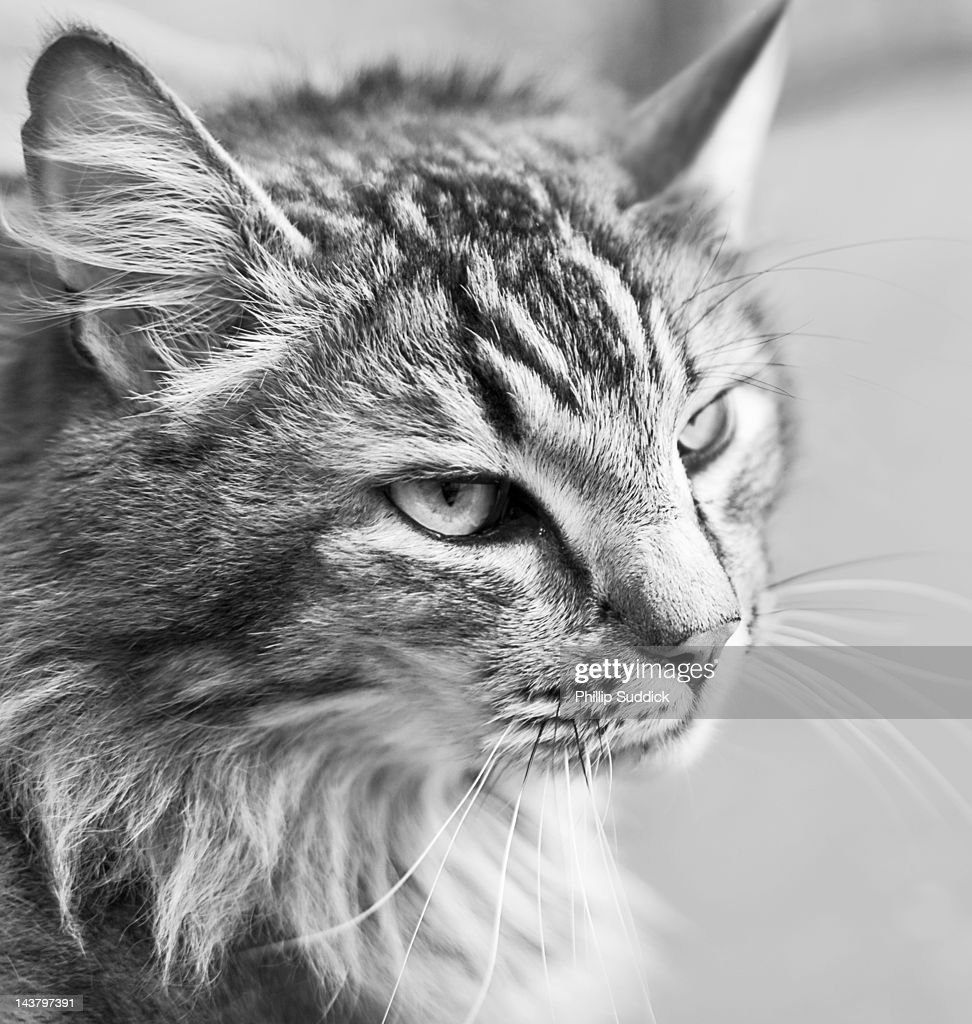 black and white portrait of pet cat in Britain : Stock Photo