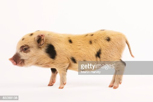 Black and white Pot-bellied piglet. : Stock Photo