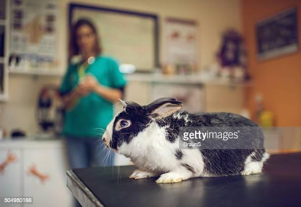 ブラックとホワイトのラビットを検査テーブルの獣医のます。