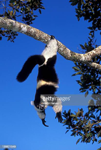 Black and white Ruffed Lemur, Varecia variegata variegata, in suspensory feeding posture, Madagascar
