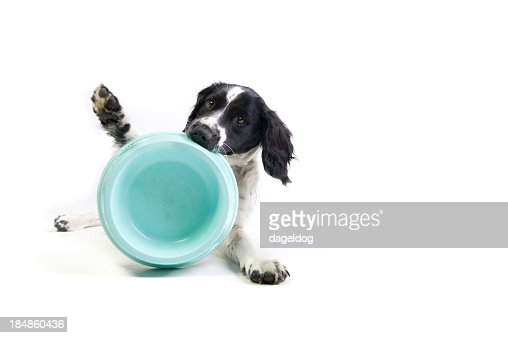 Black and white spaniel holding empty blue bowl in mouth