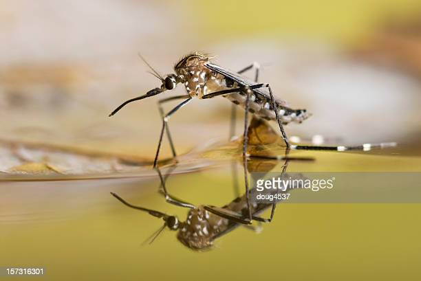 Black and white spotted mosquito on the surface of liquid