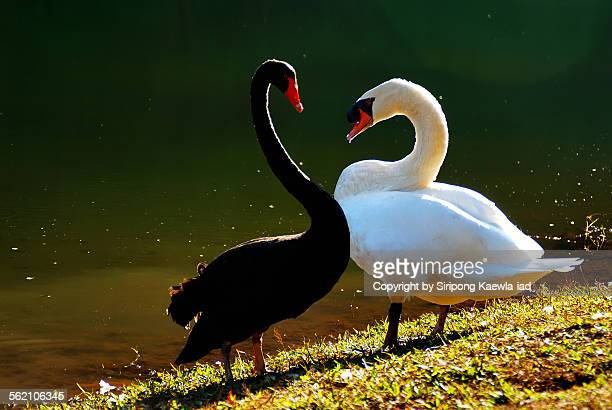 Black and White Swans in heart shape