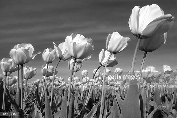 Black and White Tulips Blowing in Gentle Breeze