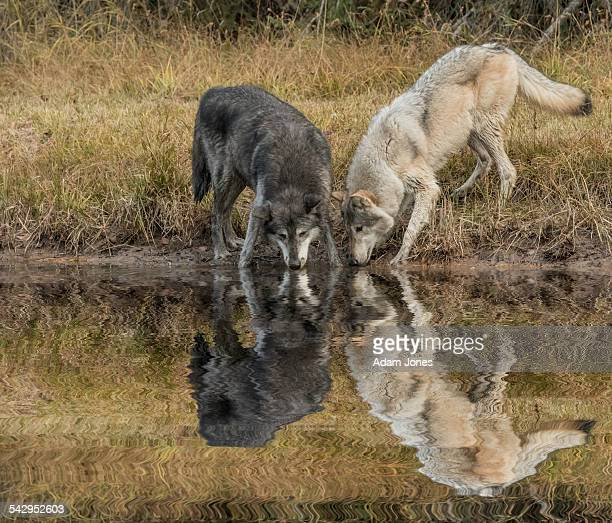 Black and white Tundra Wolves and reflection
