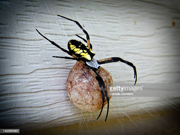 Egg sac stock photos and pictures getty images for Garden spider egg sac