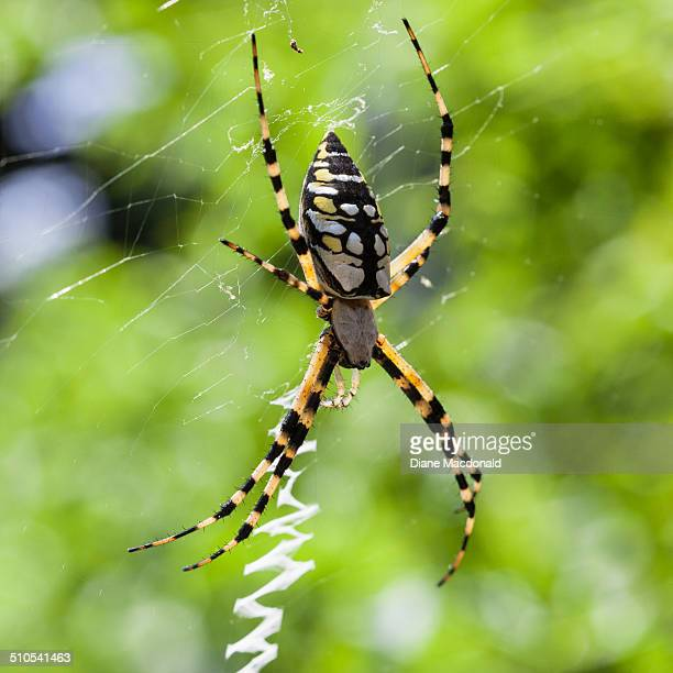 Garden Spider Stock Photos And Pictures Getty Images