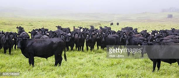 Black angus beef cattle graze in Hawaii