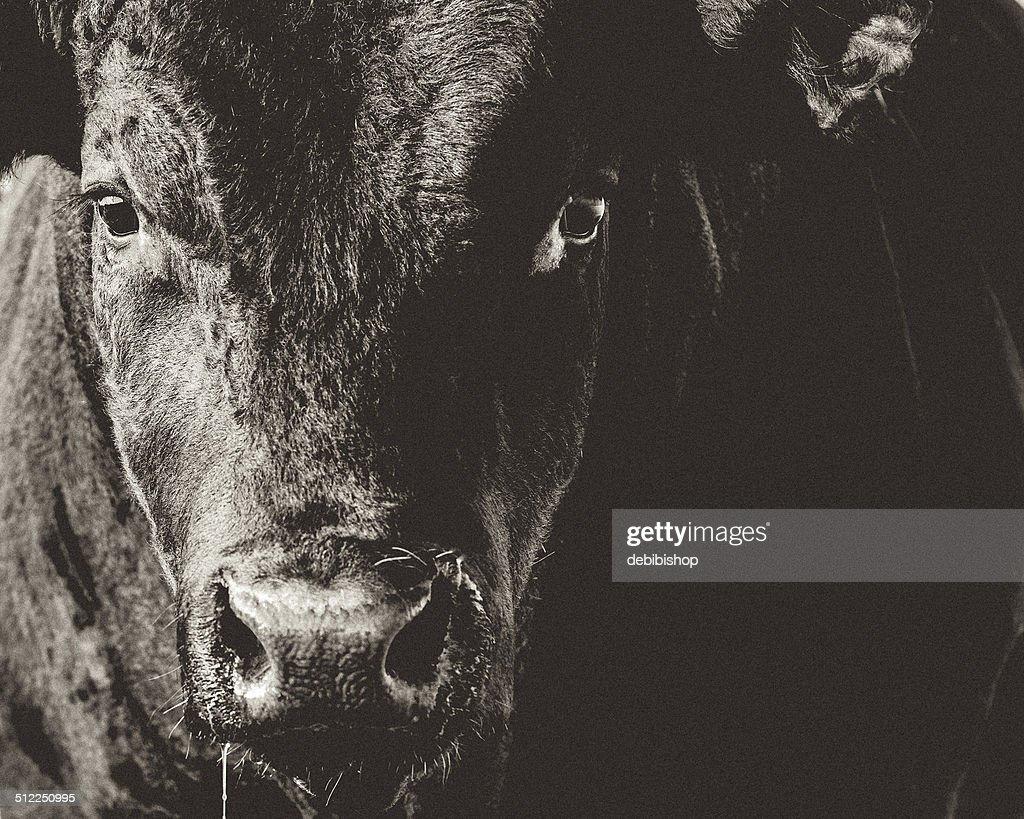 Black Angus Bull Head & Face Closeup Black & White : Stock Photo