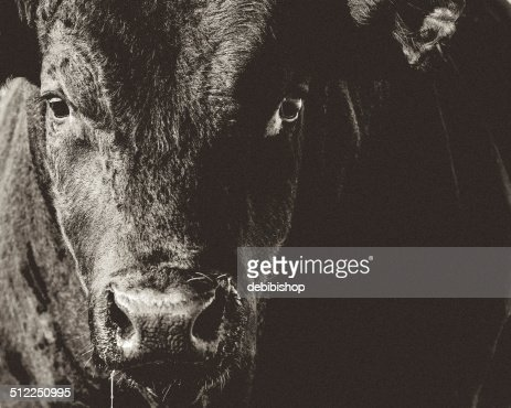 Black Angus Bull Closeup