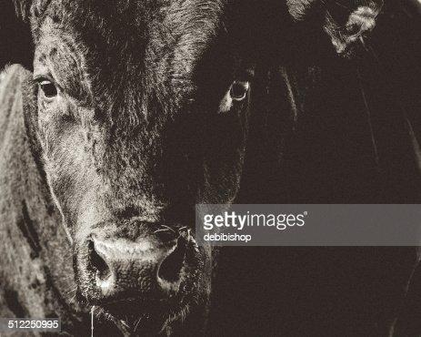 ブラックアンガス牛の頭&顔のクローズアップブラック&ホワイト