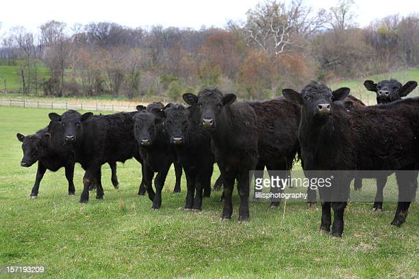Black Angus Cows Domestic Cattle herd in Field