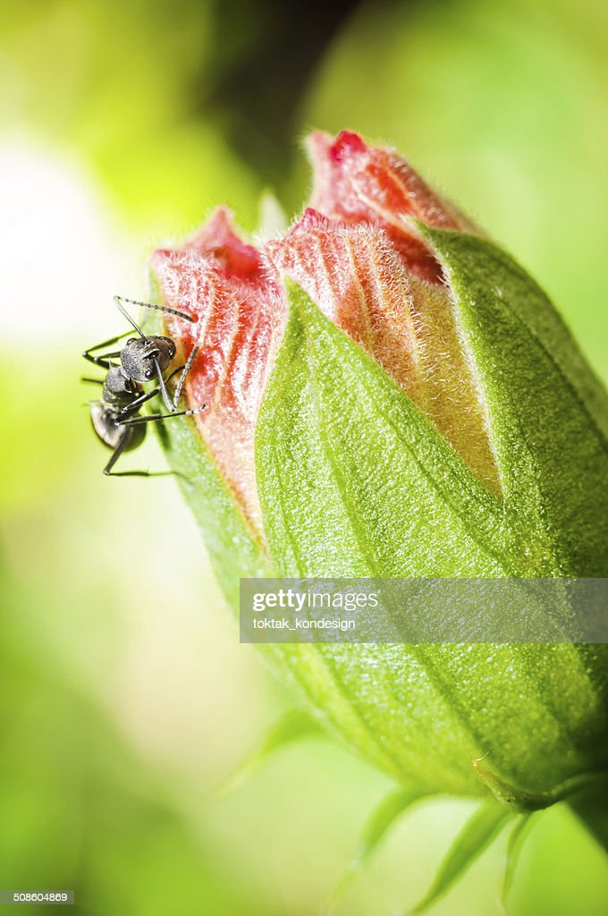 Black ant on red flower : Stock Photo