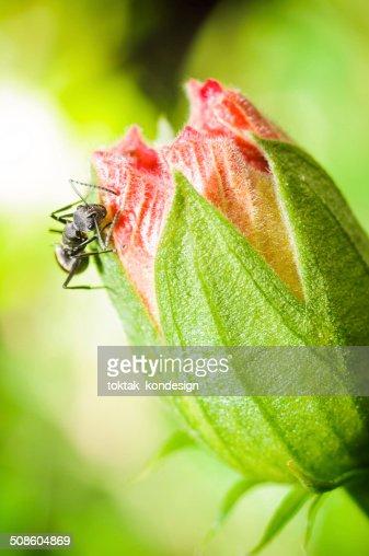 Hormiga negra en flor roja : Foto de stock