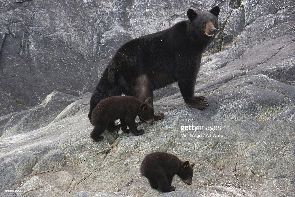 Black bear and cubs, Glacier National Park and Preserve, Alaska, USA : Stock Photo