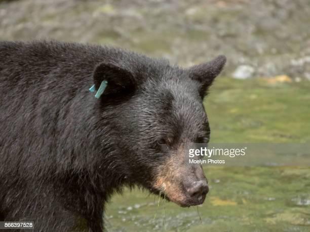 Black Bear and Mendenhall River