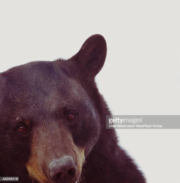 Black bear (Ursus americanus), close-up