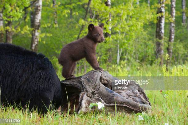 Black bear cub and mother.