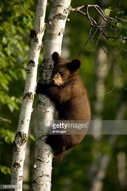 Black bear cub climbing birch tree.