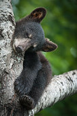 A black bear cub sleeping in a tree