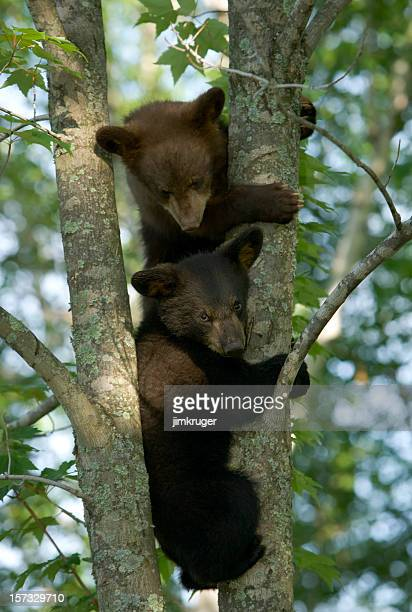 Black bear cubs climbing birch tree.