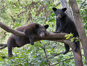 A pair of black bear cubs sitting in a tree.