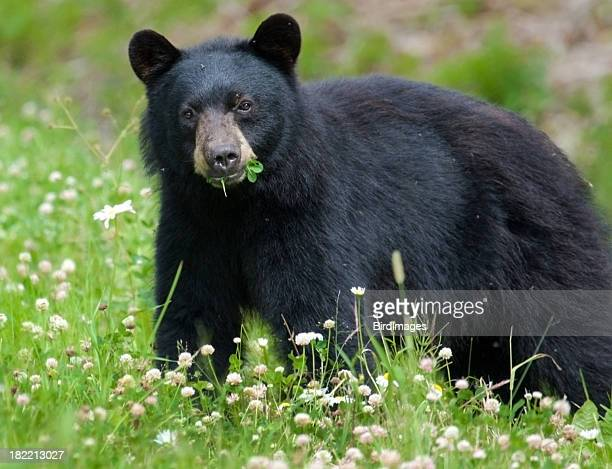 Black Bear eating clover