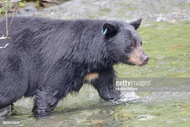 Black Bear Entering Water